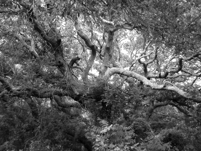 live oak b+w 02