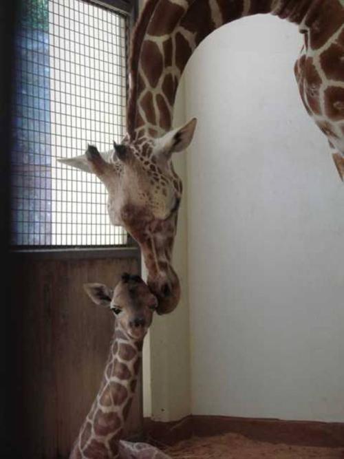 JumaGiraffe01