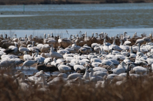 Snow Geese 2015-02_72