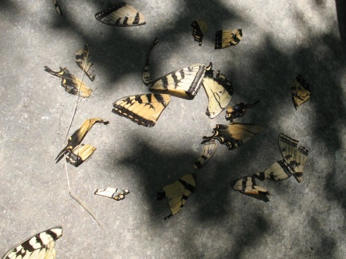 Swallowtail wings