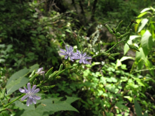 Lactuca floridana; Florida Blue Lettuce; Asteraceae