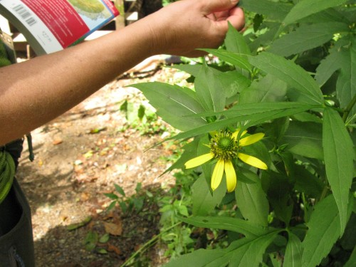 Rudbeckia lacianata; Cutleaf Coneflower; Asteraceae