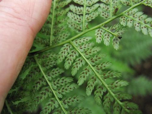 Silvery Glade Fern, Deparia acrostichoides (Dryopteridaceae - Wood Fern Family)