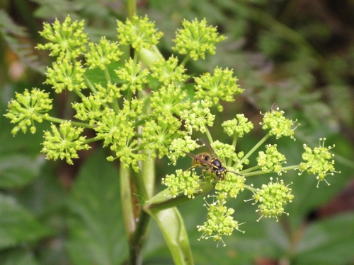 Mountain Angelica, Angelica triquinata (Apiaceae - parsley family)
