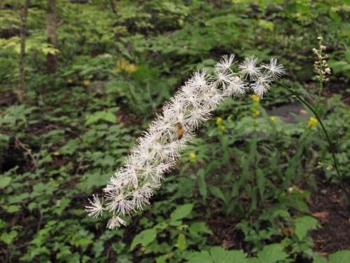 Mountain bugbane, Cimicifuga americana, Ranunculaceae, buttercup family