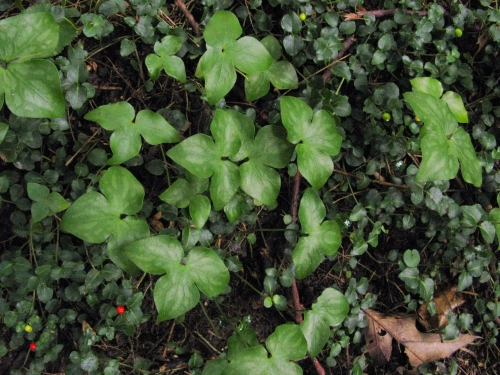 Sharp-lobed Hepatica, Hepatica acutiloba, Ranunculaceae, buttercup family