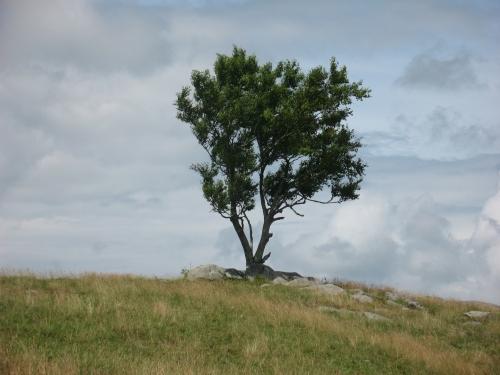 2014-06-30a Doughton Park Tree