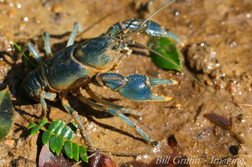 Upload Burrowing Crayfish, Cambarus dubius