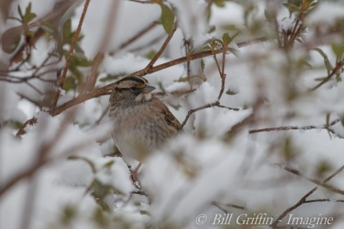 White-throated Sparrow, Zonotrichia albicollis, ELKIN NC