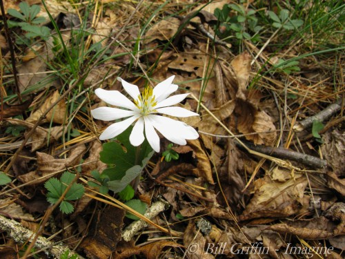 Bloodroot; Sanguinaria canadensis; Mountains-to-Sea Trail above Brinegar Cabin